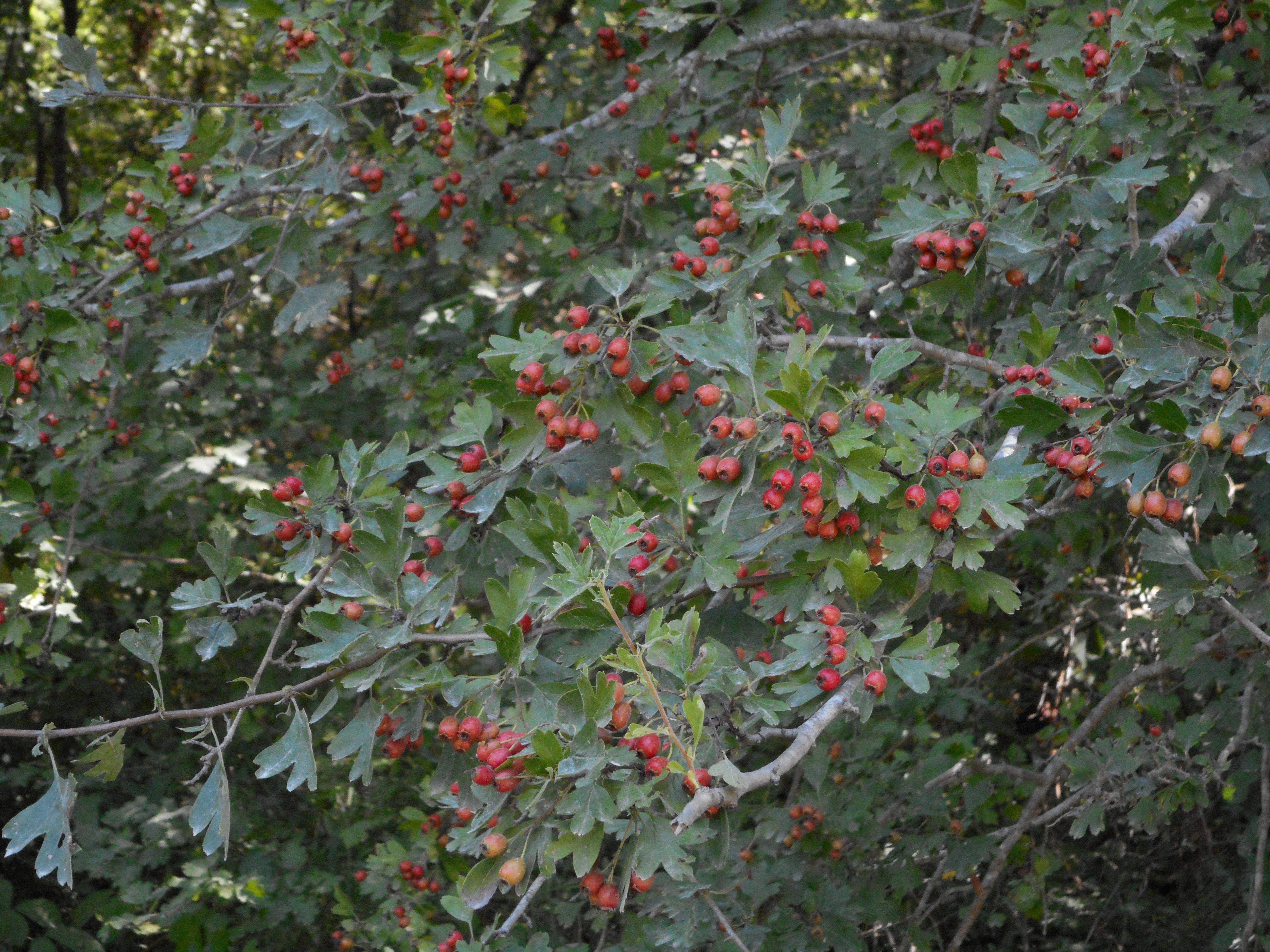 <a href=https://biodiv-montech.fr/observation/aubepine-monogyne/>Aubépine monogyne (Crataegus monogyna)</a><br>Espèce : Aubépine ou Epine blanche<br>Observé à Forêt d'Agre Montech le midi du 12 / 08 / 2016<br>