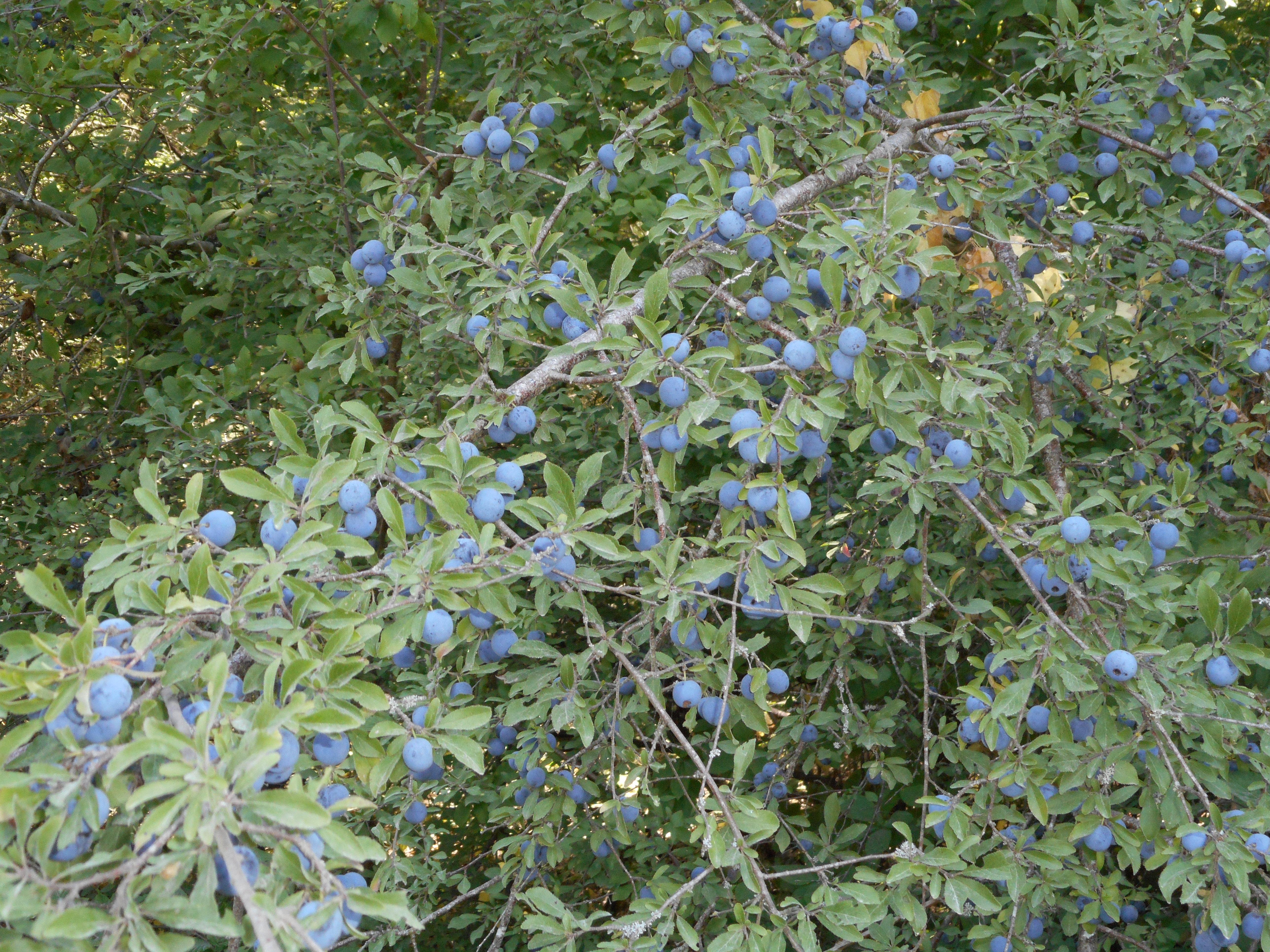 <a href=https://biodiv-montech.fr/observation/prunellier-prunus-spinosa/>Prunellier (Prunus spinosa)</a><br>Espèce : Prunellier ou épine noire<br>Observé à forêt d'Agre Montech le midi du 12 / 08 / 2016<br>
