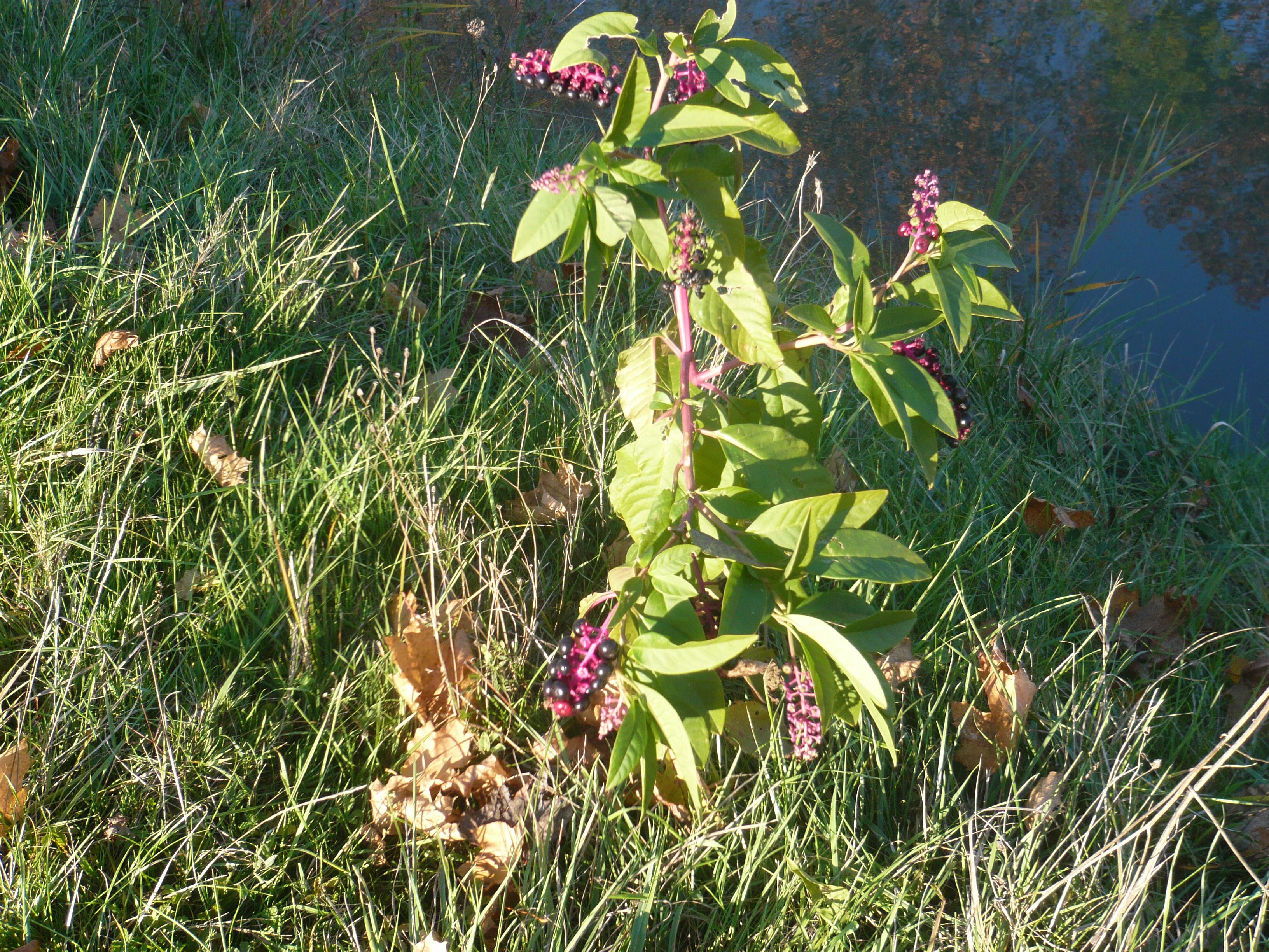 <a href=https://biodiv-montech.fr/observation/phytolaque-phytolacca-americana/>Phytolaque (Phytolacca americana)</a><br>Espèce : Phytolaque<br>Observé à Montech berges du canal l'après-midi du 15 / 11 / 2016<br>