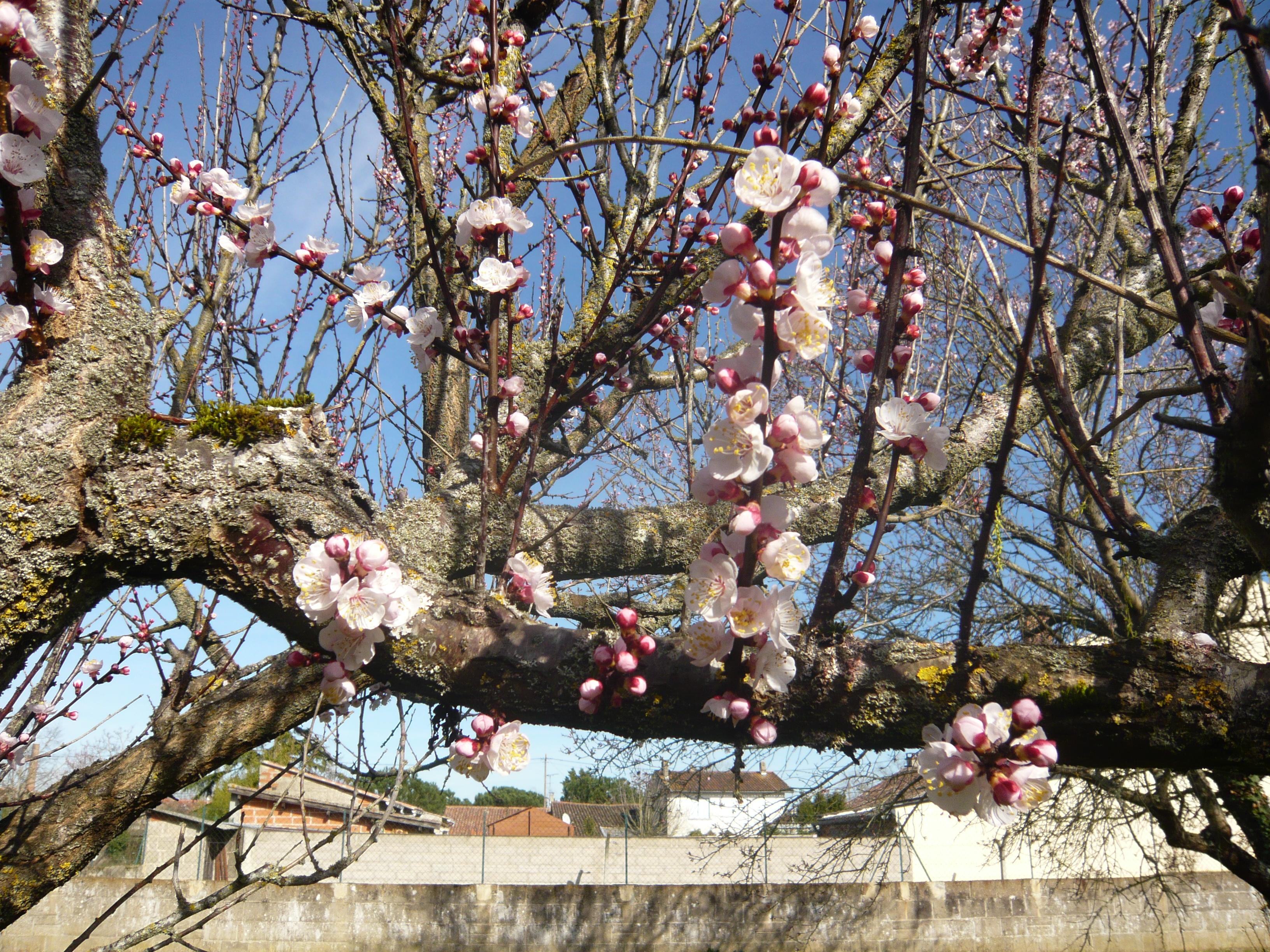 <a href=https://biodiv-montech.fr/observation/amandier-prunus-dulcis/>Amandier (Prunus dulcis)</a><br>Espèce : Amandier<br>Observé à Rue Arnaud Veissière Montech l'après-midi du 25 / 02 / 2017<br>