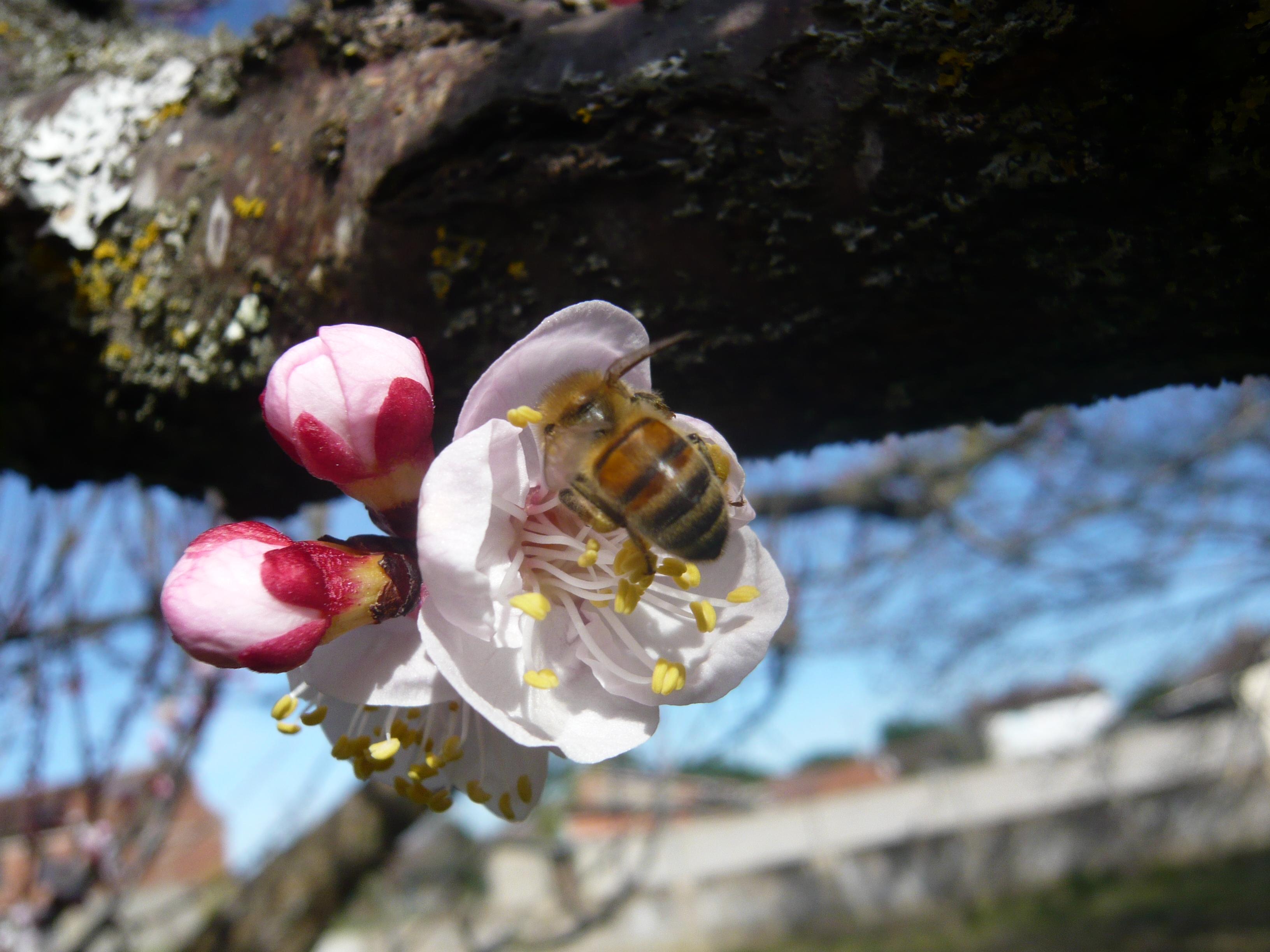 <a href=https://biodiv-montech.fr/observation/obs_293/abeille-domestique-apis-mellifera/>Abeille domestique (Apis mellifera)</a><br>Espèce : sous-espèce italienne de l'Abeille domestique<br>Observé à Rue Arnaud  Veissière Montech l'après-midi du 25 / 02 / 2017<br>