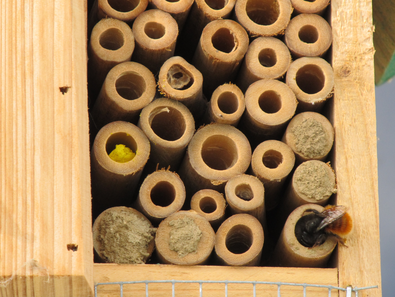 <a href=https://biodiv-montech.fr/observation/obs_293/osmie-cornue-osmia-cornuta/>Osmie cornue (osmia cornuta)</a><br>Espèce : osmie, abeille maçonne<br>Observé à Route de Montbartier Montech l'après-midi du 27 / 03 / 2016<br>