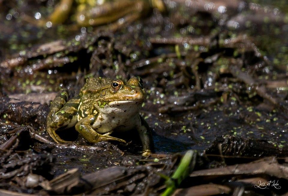 <a href=https://biodiv-montech.fr/observation/obs_238/grenouille-verte-rana-esculenta/>Grenouille verte (Rana esculenta)</a><br>Espèce : Grenouille verte<br>Observé à  le matin du 18 / 07 / 2019<br>