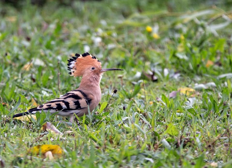 <a href=https://biodiv-montech.fr/observation/huppe-fasciee-2/>Huppe fasciée</a><br>Espèce : huppe fasciée<br>Observé à  le matin du 03 / 11 / 2019<br>