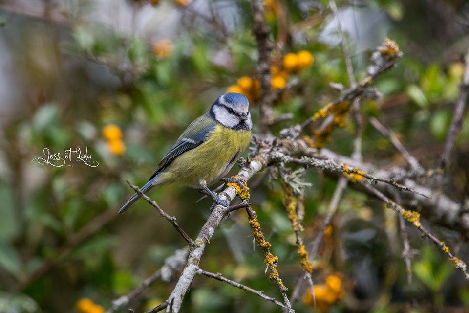 <a href=https://biodiv-montech.fr/observation/obs_184/mesange-bleue/>Mésange bleue</a><br>Espèce : Mésange bleue<br>Observé à  le matin du 30 / 10 / 2019<br>