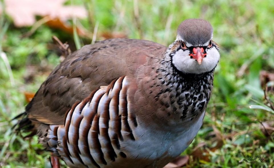 <a href=https://biodiv-montech.fr/observation/perdrix-rouge-alectoris-rufa/>Perdrix rouge (Alectoris rufa)</a><br>Espèce : perdrix rouge<br>Observé à  le matin du 14 / 11 / 2019<br>