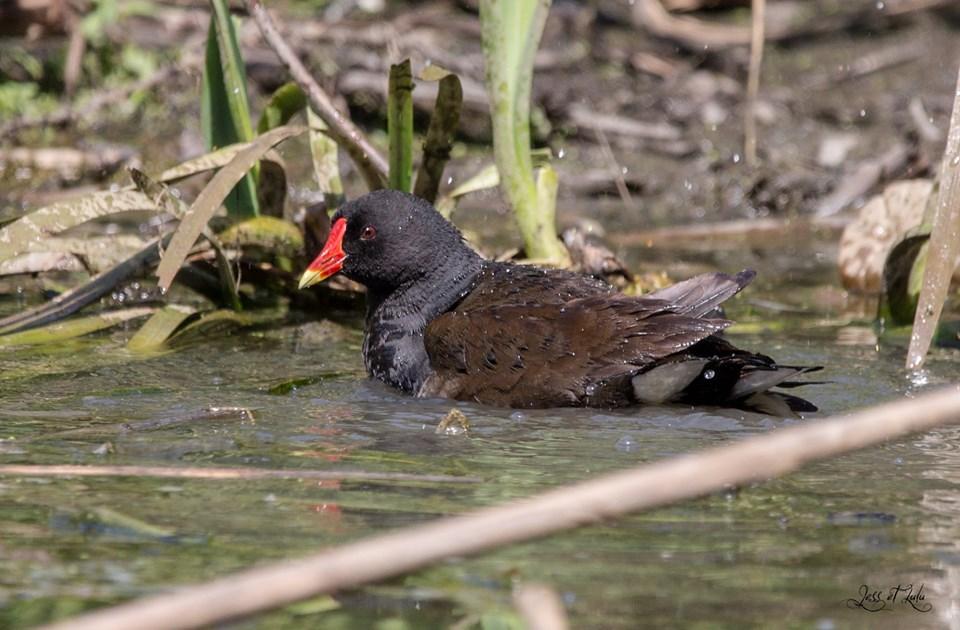 <a href=https://biodiv-montech.fr/observation/obs_81/gallinule-ou-poule-deau/>Gallinule ou poule d'eau</a><br>Espèce : Poule d'eau<br>Observé à  le matin du 19 / 06 / 2019<br>