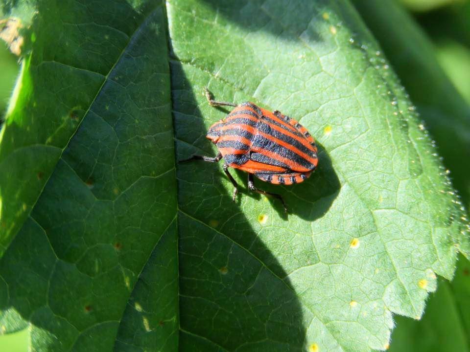 <a href=https://biodiv-montech.fr/observation/obs_374/punaise-arlequin-graphosoma-italicum/>Punaise arlequin (Graphosoma italicum)</a><br>Espèce : <br>Observé à  le matin du 04 / 05 / 2020<br>